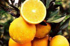 芷江名橙冰糖橙~汁多肉嫩,十分爽口,冬天就好这口!